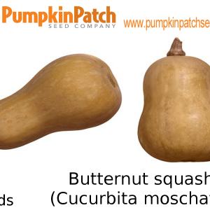 Butternut squash (Cucurbita moschata) Seeds - 5 Seeds